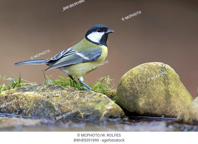 great tit (Parus major), on a stone at a water place, Germany, Lower Saxony