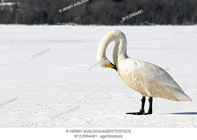 Whooper swan (Cygnus cygnus) in winter, Japan