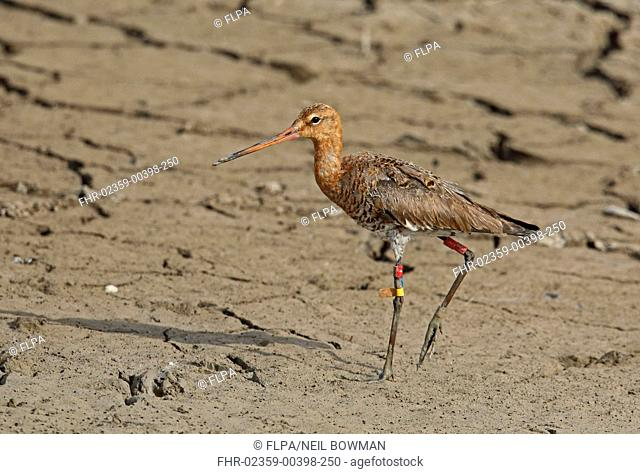 Black-tailed Godwit (Limosa limosa) adult, moulting into breeding plumage, with colour rings and 'flag' on legs, walking on muddy creek, Coto Donana, Andalucia