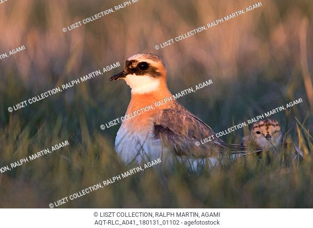 Lesser Sand Plover, Charadrius mongolus ssp. pamirensis, Kyrgyzstan, adult male with a chick, Charadrius mongolus