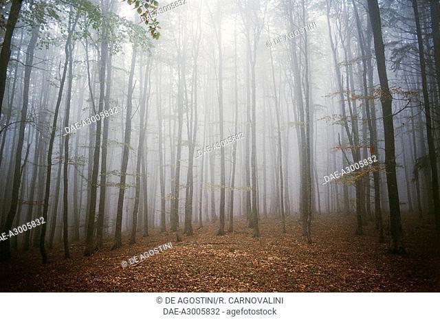 A beech plantation in the Modena Apennines, Emilia-Romagna, Italy