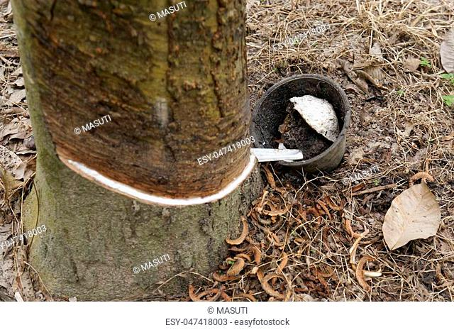 Close up view of tapping latex from rubber tree at rubber plantation