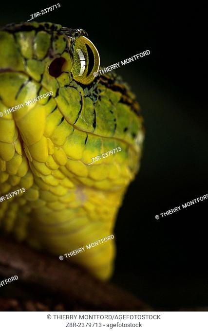 Bothriopsis bilineata. Tree Viperid. Venomous Snake (solenoglyph) mostly nocturnal. Behaviour varies according to the specimen