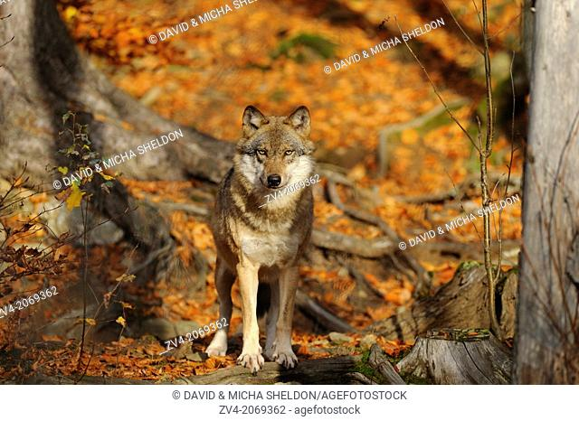 Close-up of a Eurasian wolf (Canis lupus lupus) in autumn in the bavarian forest
