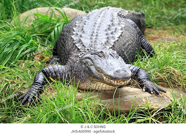 American Alligator, Alligator mississipiensis, USA, America, kindly looking