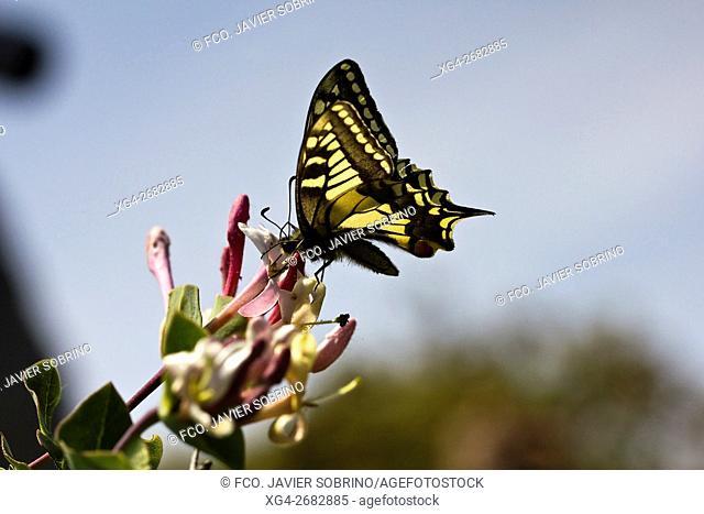 Mariposa Macaón (Papilio Machaon) en el mes de mayo en el Parque Natural del Desierto de Las Palmas - Benicàssim - Plana Alta - Castellón - Comunidad...