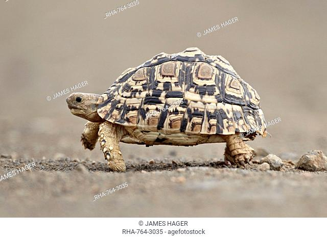Leopard tortoise Geochelone pardalis, Kruger National Park, South Africa, Africa
