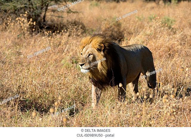 Lion (Panthera leo) walking in grassland, Savuti, Chobe National Park, Botswana