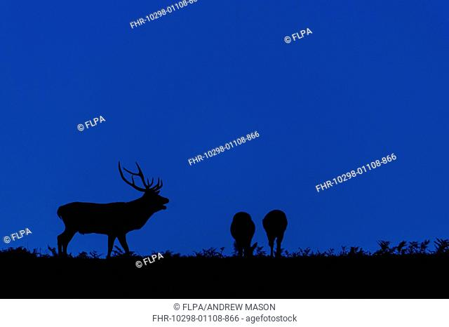 Red Deer (Cervus elaphus) mature stag, roaring, with two hinds, silhouetted at twilight, during rutting season, Bradgate Park, Leicestershire, England, October