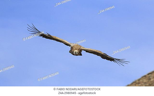 Group of Griffon Vulture (Gyps fulvus) flying in SiChuan, China