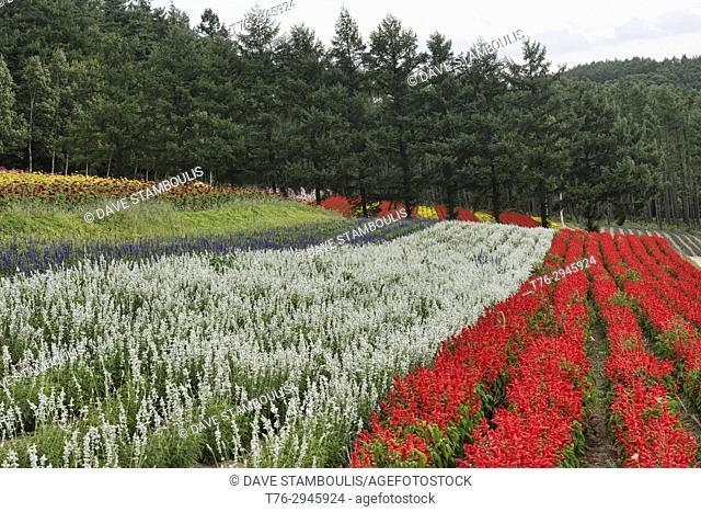 Rainbow fields of scarlet sage (red salvia) and other flowers at the Saika no Sato Lavender Farm in Naka-Furano, Hokkaido, Japan