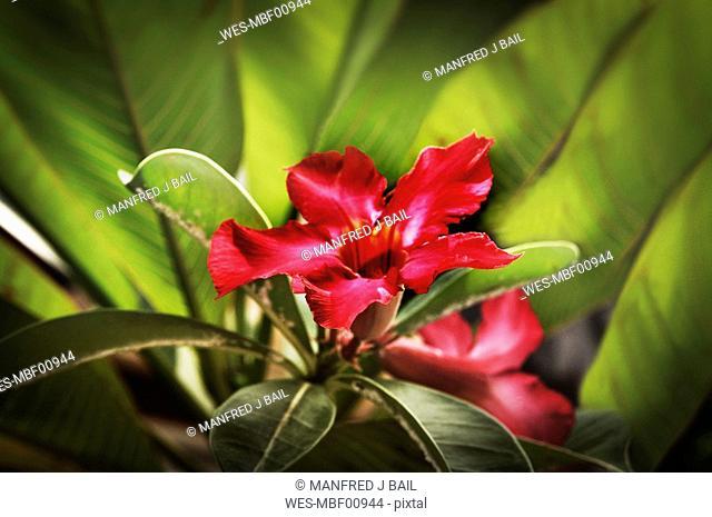 Asia, Indonesia, Bali, Desert rose, Adenium Obesum, close-up