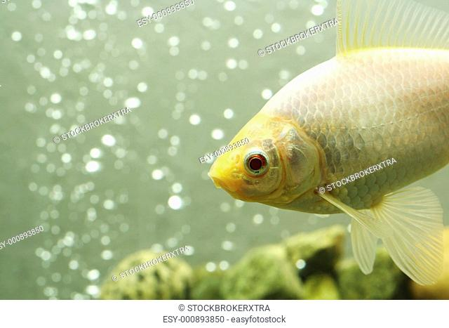 A close up shot of a white common goldfish
