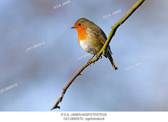 Robin Erithacus rubecula in Hedgerow