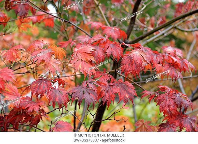 Full Moon Maple (Acer japonicum 'Aconitifolium', Acer japonicum Aconitifolium), cultivar Aconitifolium, autumn leaves