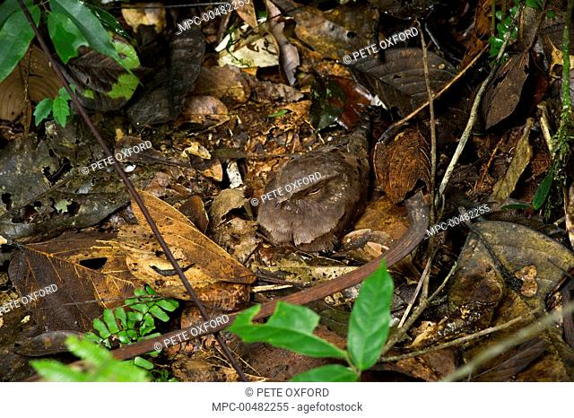 Ocellated Poorwill (Nyctiphrynus ocellatus) sitting on nest, Yasuni National Park, Amazon, Ecuador
