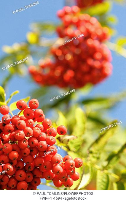 Rowan, Sorbus aucuparia, Mass of red coloured berries growing on the plant.-