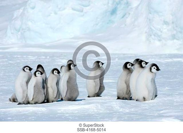 antarctica, weddell sea, snow hill island, emperor penguin colony aptenodytes forsteri, group ofchicks walking on fast ice