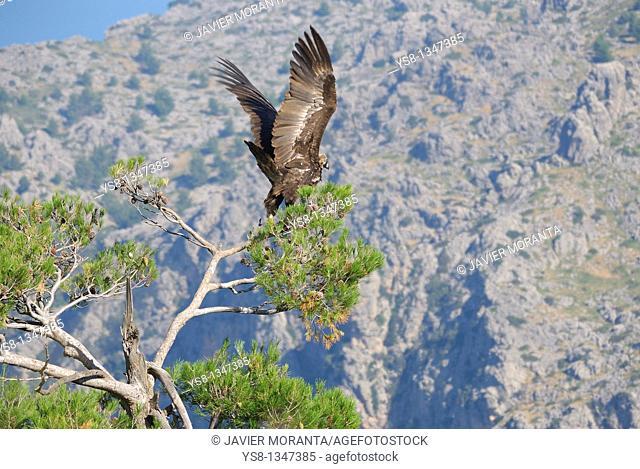 Spain, Balearic Islands, Mallorca, black vulture Aegypius monachus adult taking flight