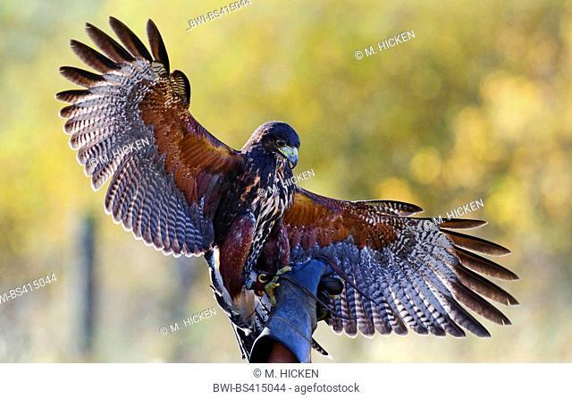 harris'hawk (Parabuteo unicinctus), harris hawk on hand of a falconer, United Kingdom, Scotland, Highlands