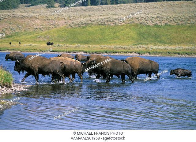 Bison Herd crossing River during Rut, Sagebrush Hillside, Yellowstone NP, WY (Bison bison)