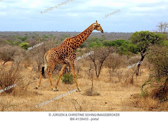 South African giraffe (Giraffa camelopardalis giraffa), adult, Kruger National Park, South Africa