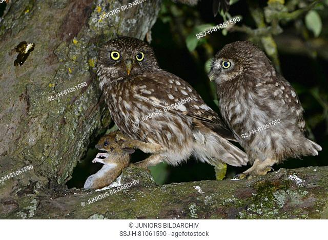 Little Owl (Athene noctua) adult (left) offering a mouse to the just unfledged chick even in the treetop of an Appletree