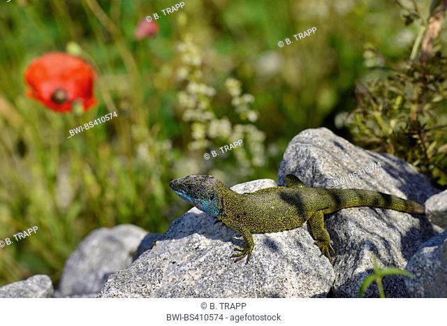 Eastern Green Lizard, European green lizard, Emerald lizard (Lacerta viridis, Lacerta viridis viridis), male sunbathing on a stone heap, Germany, Donauleiten