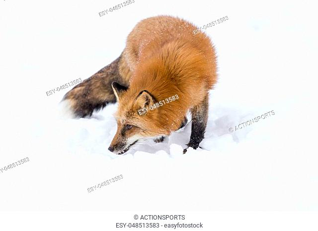 A red fox hunts for prey in a snowy forest habitat