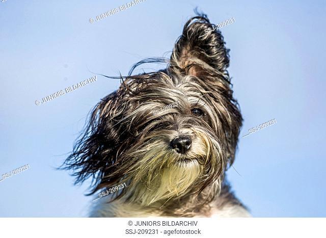 Biewer Terrier. Portrait of a bitch, Germany