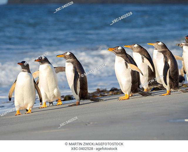 Close to the sea on a beach. Gentoo Penguin (Pygoscelis papua) in the Falkland Islands. South America, Falkland, January