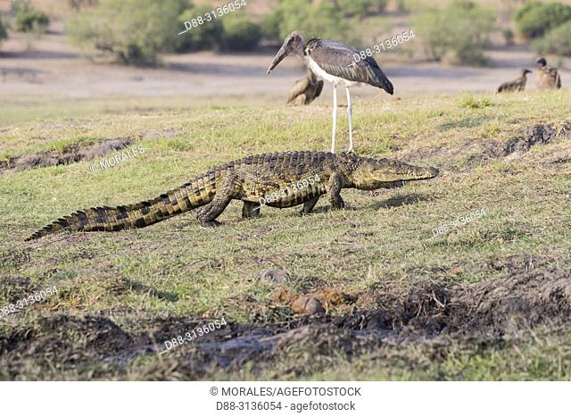 Africa, Southern Africa, Bostwana, Chobe i National Park, Chobe river, Nile Crocodile (Crocodylus niloticus) comes to eat as well as African vultures (Gyps...