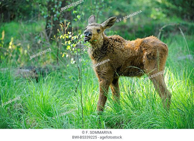 elk, European moose (Alces alces alces), calf standing in a meadow feeding leaves from a young tree, Germany