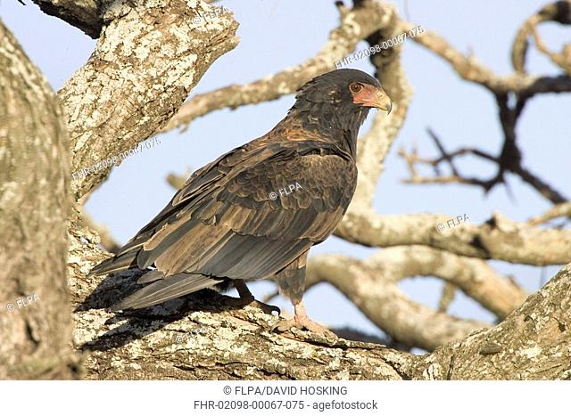 Bateleur Eagle,Tanzania, Africa, Theratopius ecaudatus, young adult perched -