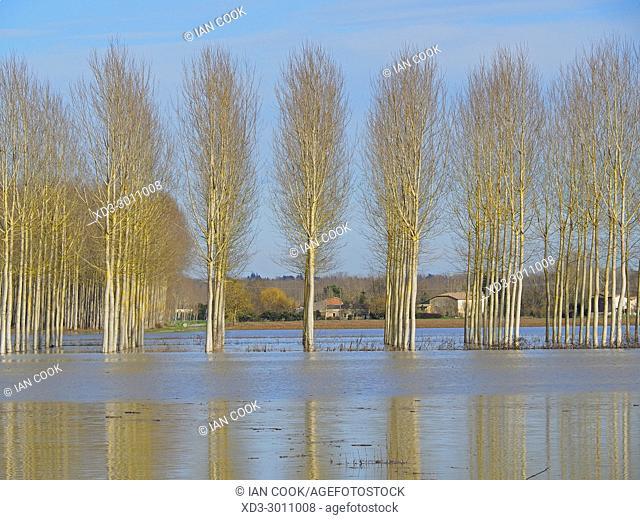 poplar grove, Salicaceae spp. near the Canal de Garonne near Marmande, Lot-et-Garonne Department, Aquitaine, France