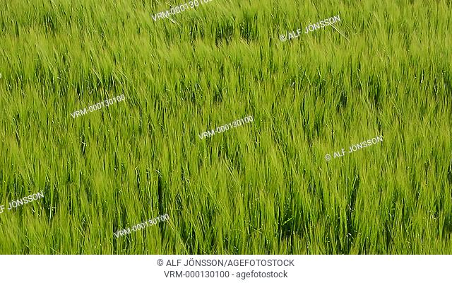 Green crop