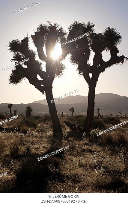 Joshua trees backlit by sun, Joshua Tree National Park, California, USA