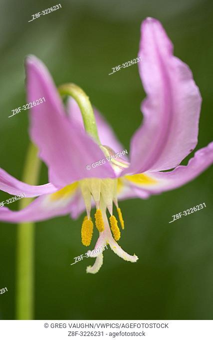 Pink Fawn Lily (Erythronium revolutum); Mount Pisgah Arboretum, Willamette Valley, Oregon