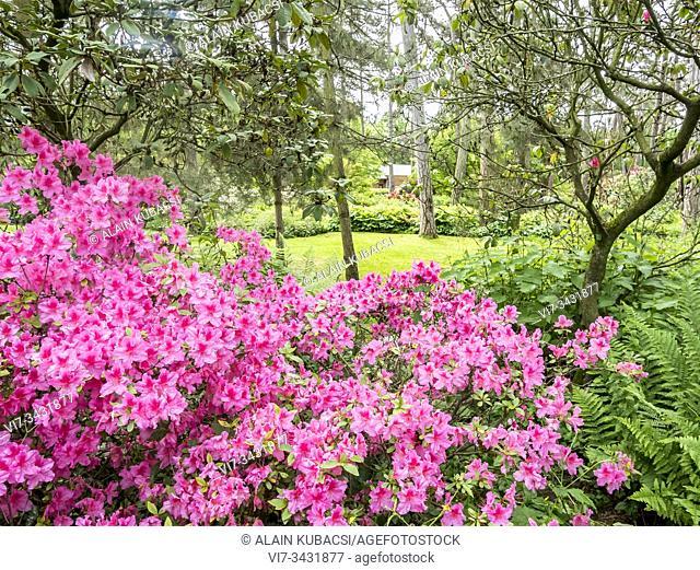 Rhododendron 'Maxwellii'