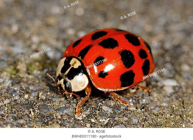 multicoloured Asian beetle (Harmonia axyridis), sitting on the grounde, Germany