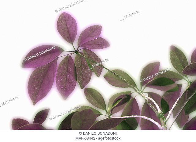 schefflera actinophylla plant, studio, italy