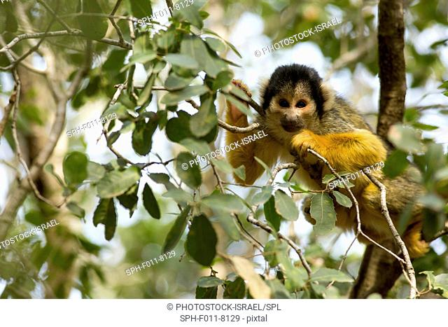 Squirrel monkey (Saimiri sciureus) in a tree. This monkey is native to tropical South and Central America. It is exclusively arboreal
