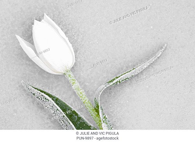One frozen white tulip Tulipa on sheet of frosted glass