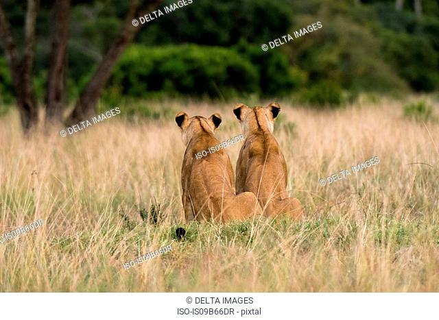 Two lionesses (Panthera leo), rear view, Masai Mara, Kenya, Africa