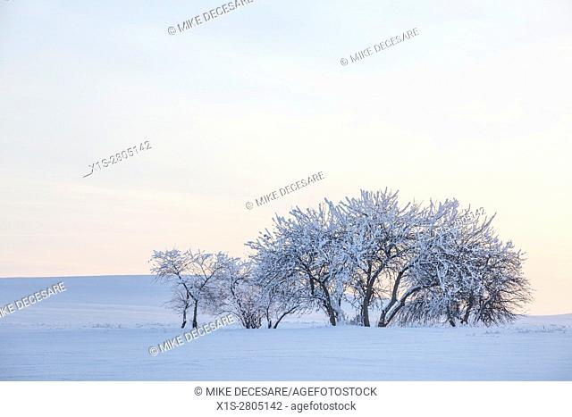 snow covered trees in an otherwise barren, snow covered landscape