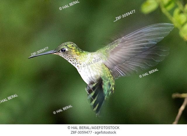 Many-Spotted Hummingbird flying (Leucippus chlorocercus). Ecuador