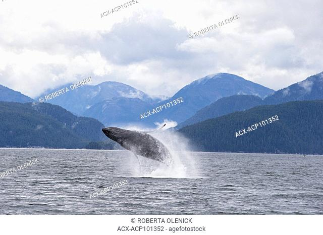 Humpback whale (Megaptera novaeangliae), breaching, Kitimat Channel, northern British Columbia, Canada