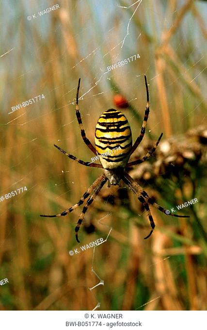 black-and-yellow argiope, black-and-yellow garden spider (Argiope bruennichi), in its web, Germany