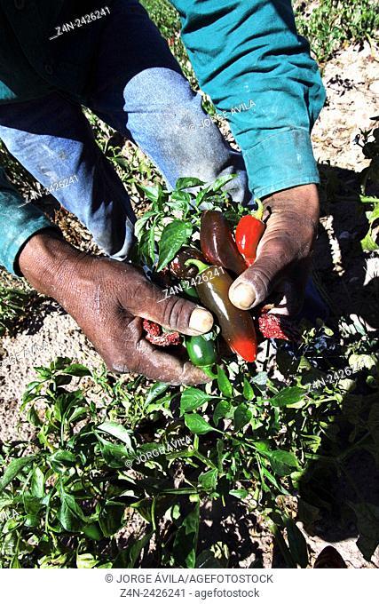 Hands, farmer, Chihuahua, Mexico