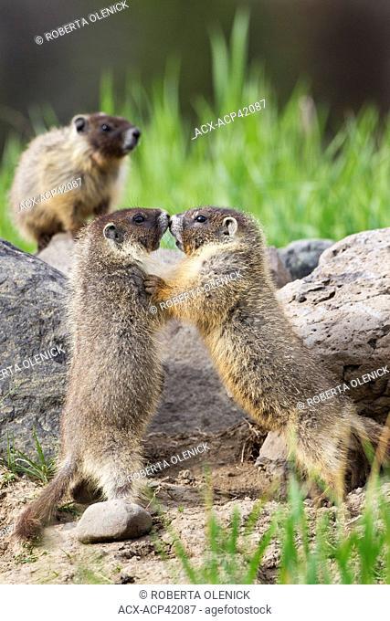 Yellow-bellied marmot Marmota flaviventris, pups play wrestling, near Tunkwa Provincial Park, British Columbia, Canada